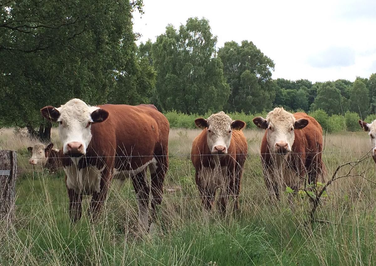 fgb-twentse-koeien-natuur